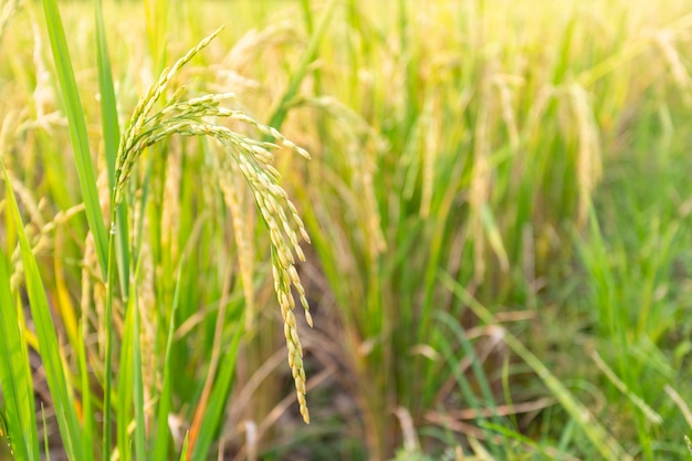 Gros plan d'une plante de riz paddy.