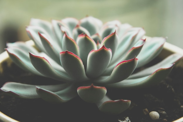 Gros plan d'une plante succulente, photo sombre, rosette succulente echeveria tonique.