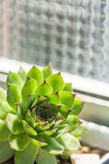 Gros plan d'une plante succulente verte