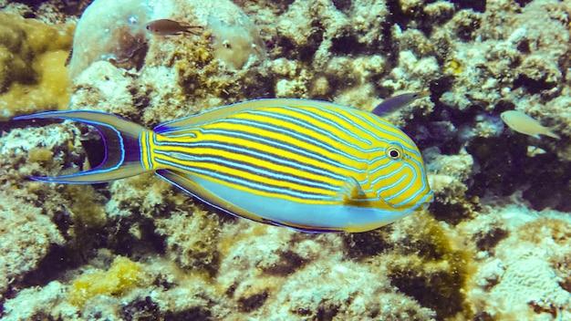 Gros plan sur le poisson chirurgien rayé aux maldives.