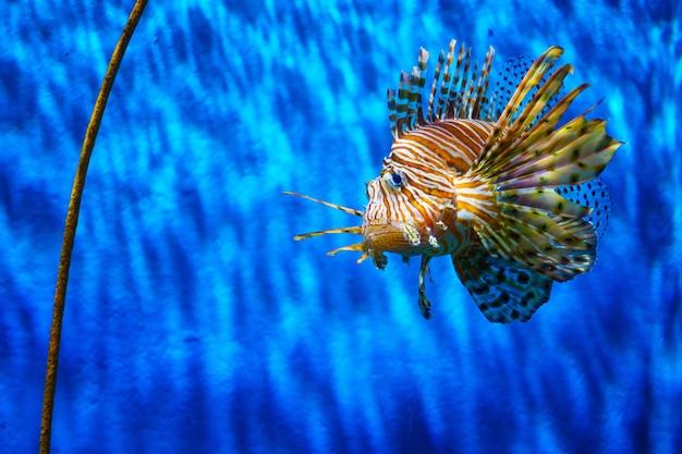 Gros plan poisson lion dans l'aquarium avec fond bleu