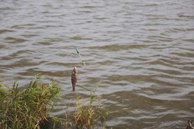 Gros plan sur le poisson pêché qui est sorti de l'eau pris sur le crochet de la canne à pêche sur la rive du lac sur fond de roseaux. mode de vie, loisirs, concept de loisirs de pêcheur. copiez l'espace pour la publicité.
