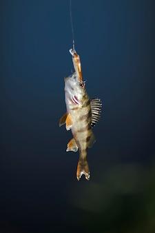 Gros plan, de, poisson, pendre, sur, poisson, leurre, sur, arrière-plan bleu