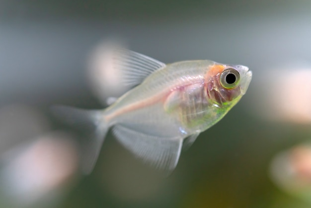 Gros plan de poissons ternetia dans l'aquarium