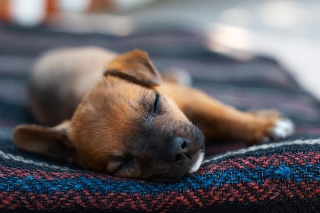 Gros plan portrait de bébé chien rouge dormant à l'extérieur.