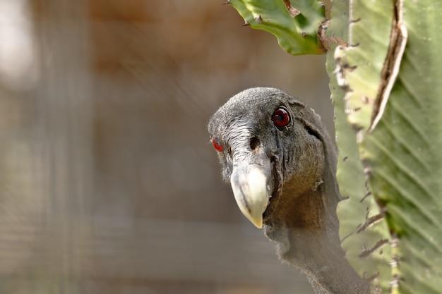 Gros plan sur le portrait de condor andin dans la nature