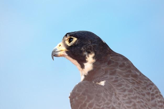Gros plan sur le portrait du faucon pèlerin