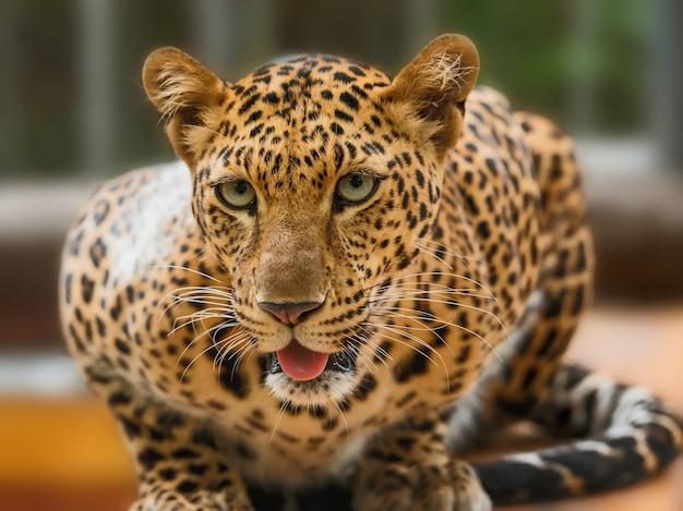Gros plan, de, portrait, léopard