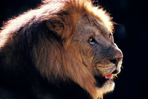 Gros plan portrait de lion