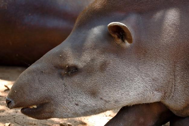 Gros plan sur le portrait de tapir sud-américain