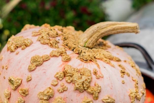 Gros plan de potiron rose 'galeux d'eysine