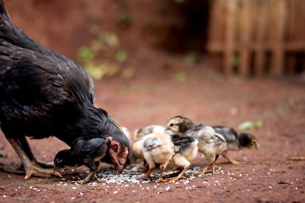 Gros plan d'une poule brune avec des poussins à la recherche de nourriture