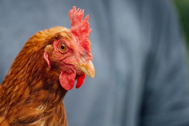 Gros plan de poulet dans les mains des agriculteurs