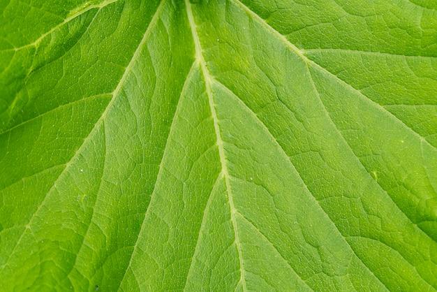 Gros plan de pousse de citrouille à grandes feuilles. texture des feuilles de citrouille.