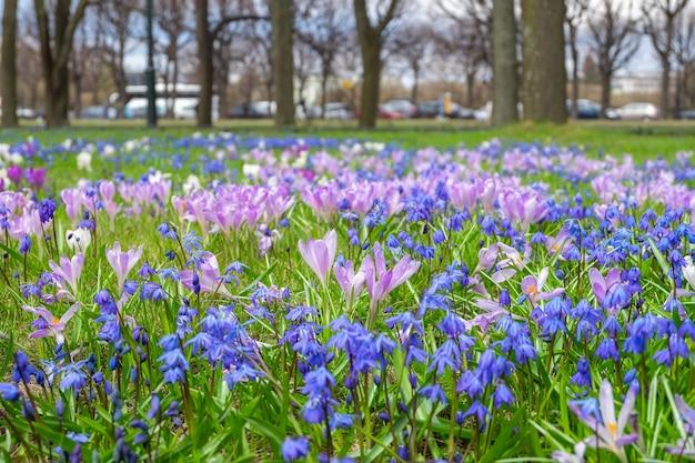 Gros plan des premières fleurs de printemps scilla et crocus dans le parc de printemps
