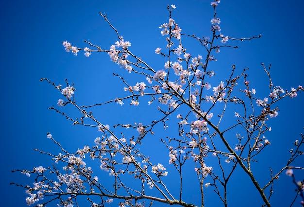Gros plan des premiers bourgeons printaniers et des fleurs de cerisier sur fond de ciel bleu.