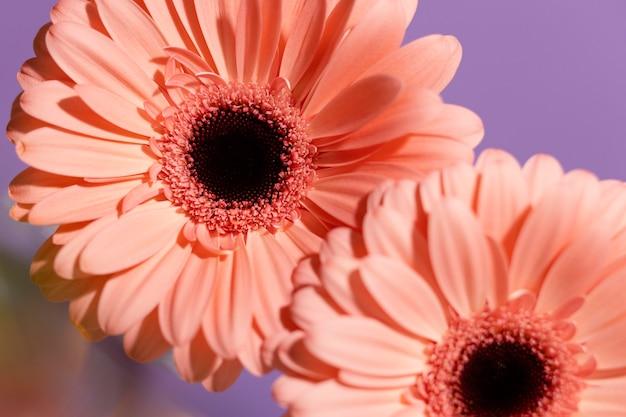 Gros plan, de, printemps, gerbera, fleurs