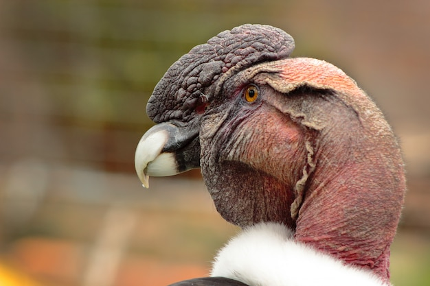 Gros plan sur le profil d'oiseau condor andin