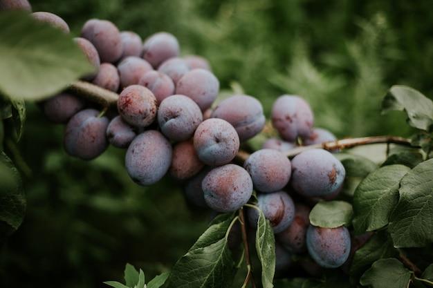 Gros plan de prunes sur la branche