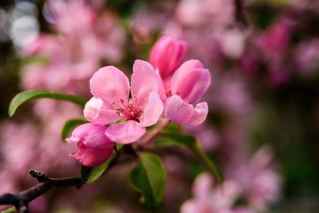 Gros plan, prunier, fleurs, branche