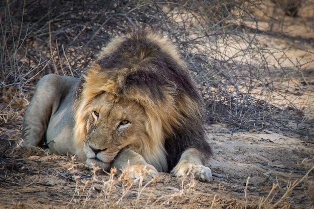 Gros plan d'un puissant lion couché sur le sol