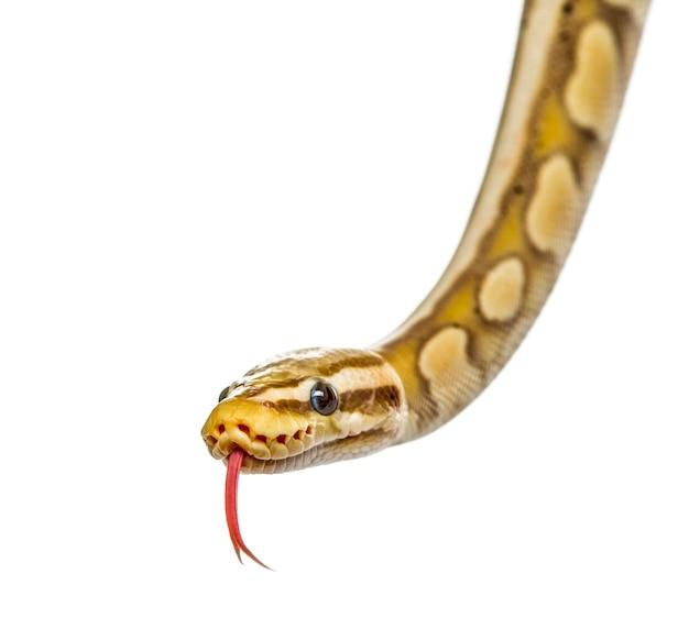 Gros plan d'un python luciole, isolé sur blanc