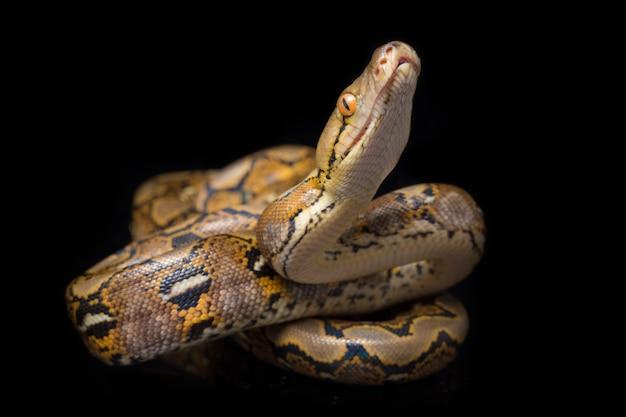 Gros plan de python réticulé