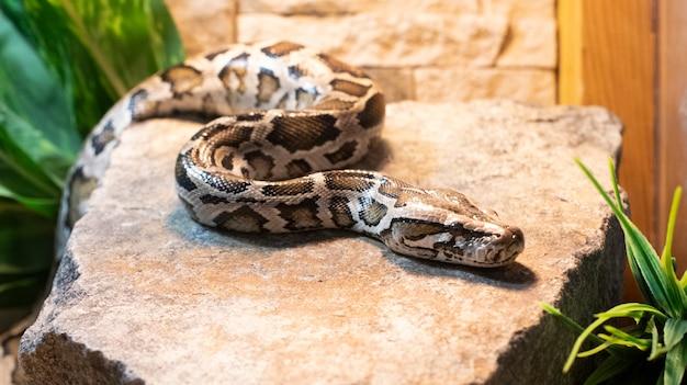 Gros plan, de, a, python tigre