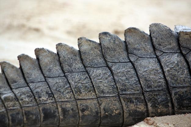 Gros plan sur la queue d'un crocodile.