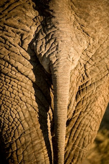 Gros plan de la queue d'éléphant
