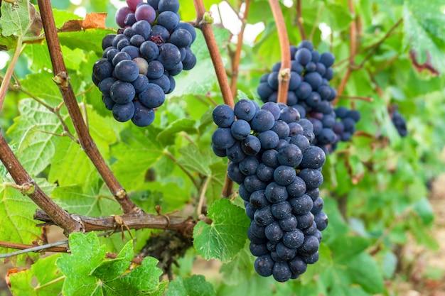 Gros plan, raisin, vigne, dans, champagne, récolte, automne, reims, france