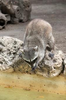 Gros plan sur le raton laveur assis et regardant attentivement