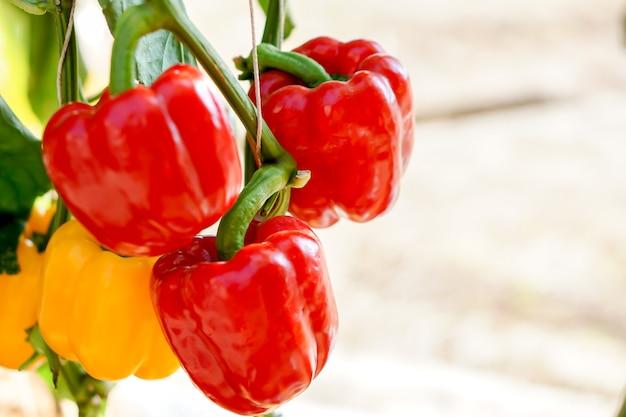 Gros plan et recadrage des poivrons jaunes et rouges avec des lumières naturelles sur fond flou.