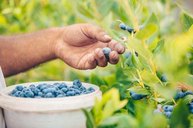 Gros plan de la récolte à la main de l'agriculteur ou ramasser des myrtilles de son immense une ferme de myrtilles