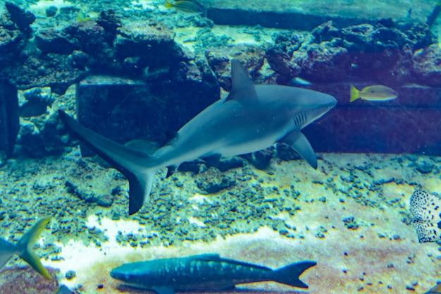 Gros plan d'un requin de récif près de l'atlantis, ville de sanya sur l'île de hainan, en chine.