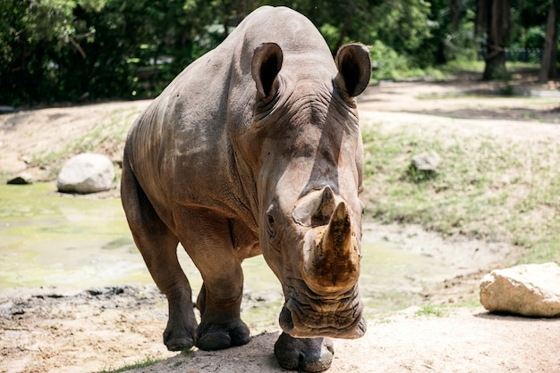 Gros plan de rhinocéros au zoo