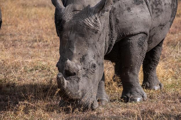 Gros plan d'un rhinocéros boueux paissant sur un champ capturé à ol pejeta, kenya