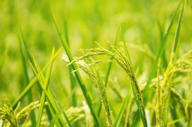 Gros plan de riz au jasmin mûr vert