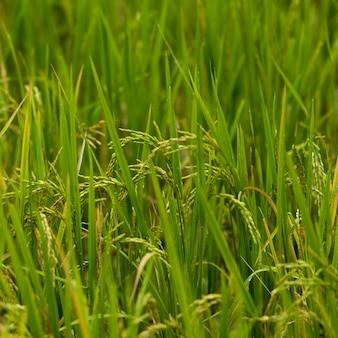 Gros plan, de, riz, culture, croissant, dans, champ, kamu, loge, ban, gnoyhai, luang prabang, laos