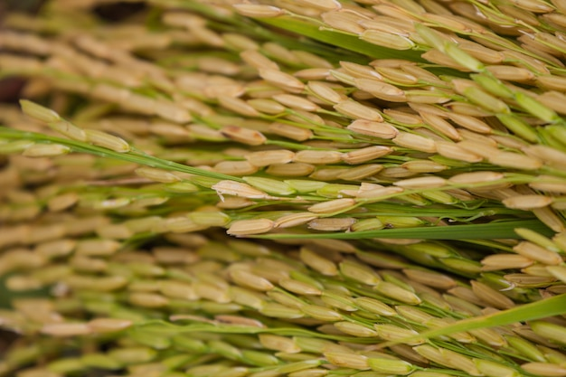 Gros plan, de, riz vert