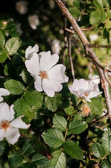 Gros plan de rosa glauca dans le jardin