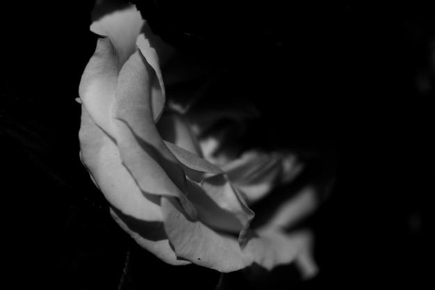 Gros plan d'une rose blanche dans le noir