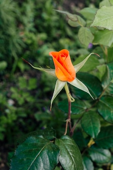 Gros plan rose orange dans le jardin