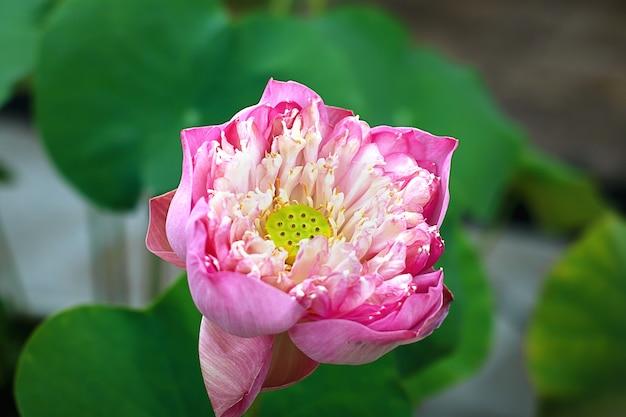 Gros plan, rose, pétale, lotus, ou, nénuphar, à, vert, lotus, feuilles, flottant, sur, eau