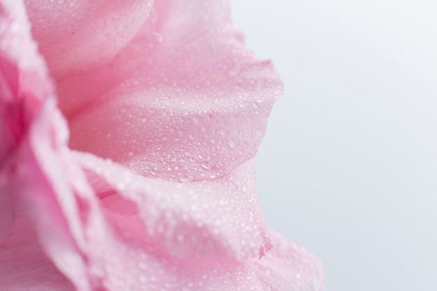 Gros plan, de, rose rose, à, arrière-plan flou