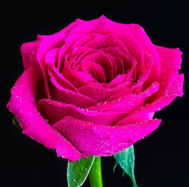 Gros plan d'une rose rose en fleurs avec de la rosée sur le dessus