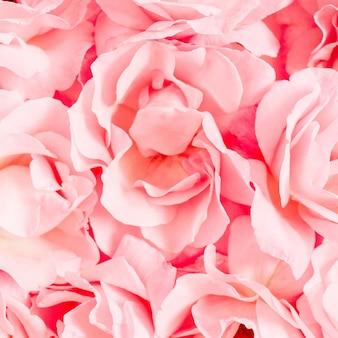 Gros plan, de, rose rose, fleurs