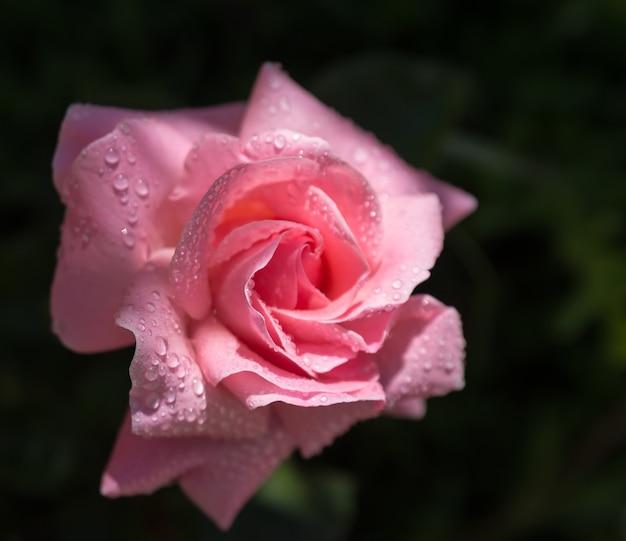 Gros plan d'une rose rose avec des gouttelettes d'eau dessus