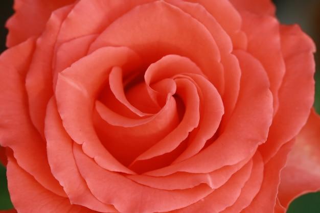 Gros plan rose rose