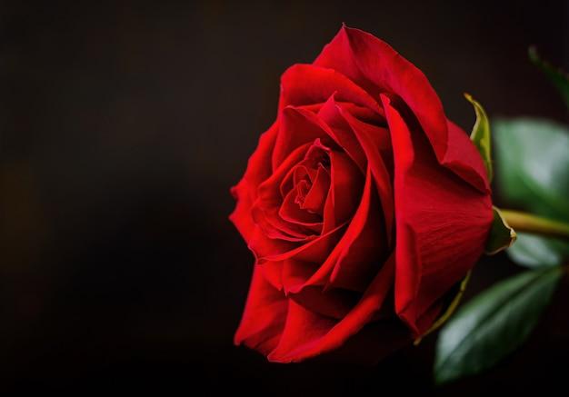 Gros plan rose rouge